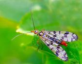 Scorpionfly (Mecoptera) — Stock Photo
