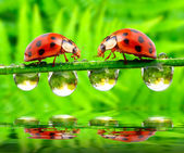 Ladybug drinking fresh morning dew — Stockfoto