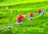 The ladybugs family — Stock fotografie