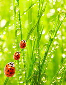 The ladybugs family — Stock Photo