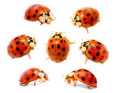 Ladybugs on a white background — Stock Photo