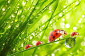 The ladybugs family — Stockfoto