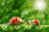 Ladybugs family on a dewy grass. — Stock fotografie