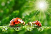 Lieveheersbeestjes familie op een dewy gras. — Stockfoto