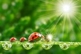 Ladybugs aile nemli çimenlerin üzerinde. — Stok fotoğraf