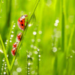 Ladybugs family on dewy grass. — Stok Fotoğraf #33580029