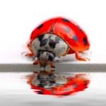 Drinking ladybug. — Stock Photo #33580101