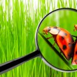 Magnifying glass and love-making ladybugs — Stock Photo