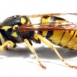 Close-up of a live Yellow Jacket Wasp — Stock Photo