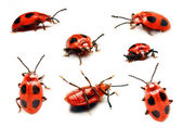 Ladybird in different positions — Foto de Stock