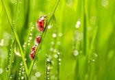 Família de joaninhas em uma grama orvalhada. — Foto Stock