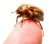 May-bug on finger — Stock Photo
