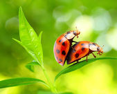 Love-making ladybugs couple — Stock Photo