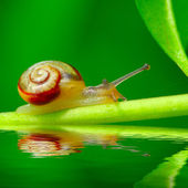 Edible snail (Helix pomatia) on the grass. — Stock Photo