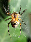 Araneus diadematus — Stock Photo