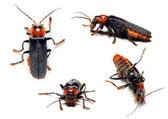 Ropalopus femoratus - Longhorn beetle — Stock Photo