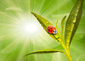 Ladybug drinking fresh morning dew — Stock Photo