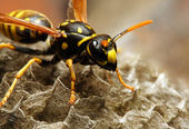 A wasp and its honeycomb — Stock Photo