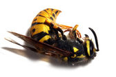 Close-up of a killed Yellow Jacket Wasp — Stock Photo