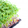 Garden cress — Stock Photo #33717877