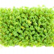 Garden cress — Stock Photo #33717883