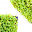 Garden cress — Stock Photo #33717901