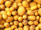 Harvested potatoes — Stock Photo