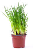 Fresh chive in pot — Stock Photo