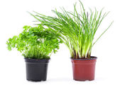 Fresh chive and parsley in pot — Stock Photo