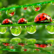 Three ladybugs running on a grass bridge. Close up with shallow DOF. — Foto Stock