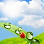 Ladybug on fresh dew. — Stock Photo