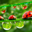 Three ladybugs running on grass bridge. Close up with shallow DOF. — Stok Fotoğraf #33788081