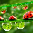 Stock Photo: Three ladybugs running on grass bridge. Close up with shallow DOF.