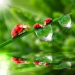 Three ladybugs running on a dewy grass. — Foto Stock