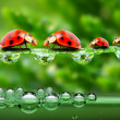 The ladybugs family running on a grass bridge over a spring flood. — Stock Photo