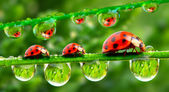 Three ladybugs running on a grass bridge. Close up with shallow DOF. — Foto de Stock