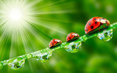 Three ladybugs running on a dewy grass. — Stockfoto
