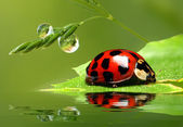 Red ladybug on leaf — Stock Photo