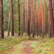 Beautiful natural background from pine forest. — Stock Photo