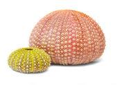 Sea urchins shell — Stock Photo