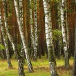 Birch forest. Betula pendula — Stock Photo