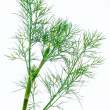 Stock Photo: Fresh and dried dill