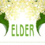 Постер, плакат: Sambucus nigra Elder