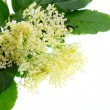 Sambucus nigra - Elder  — Stock Photo