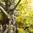 Stock Photo: The Common Hornbeam ( Carpinus betulus )