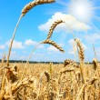 Summer Field with a Spikes of a Ripe Common wheat — Stock Photo