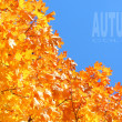 Maple foliage - autumn colors. — Stock Photo