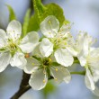 Blossom - close up with shallow dof. — Stock Photo