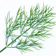 Stock Photo: Dill leaves
