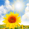 Sunflower (Helianthus annuus) — Stock Photo
